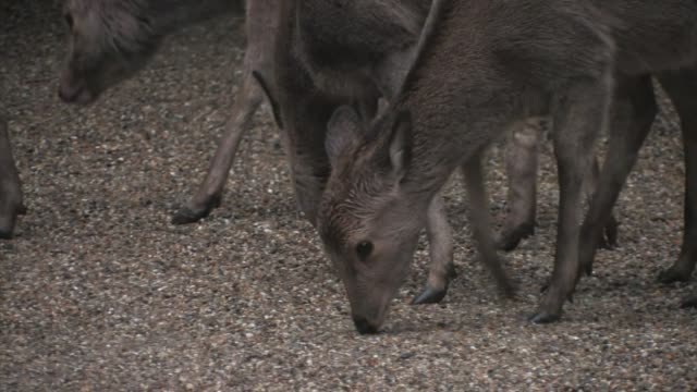 sika deer (cervus nippon) - nara prefecture stock videos and b-roll footage