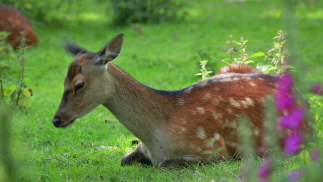 stockvideo's en b-roll-footage met sika deer - pauze nemen