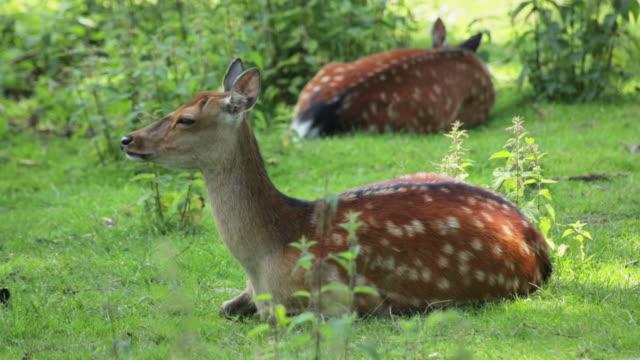 sika deer - deer family stock videos and b-roll footage