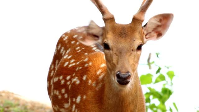 sika deer - antler stock videos & royalty-free footage