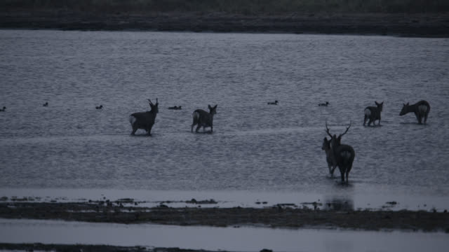sika deer walk through water, hokkaido, japan. - femmina di daino video stock e b–roll