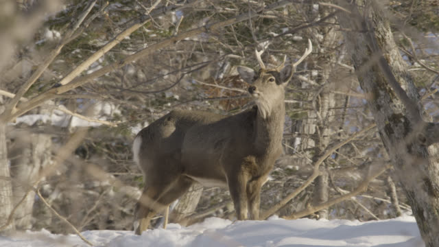 sika stag (cervus nippon) stands in snow amongst trees. - 枝角点の映像素材/bロール