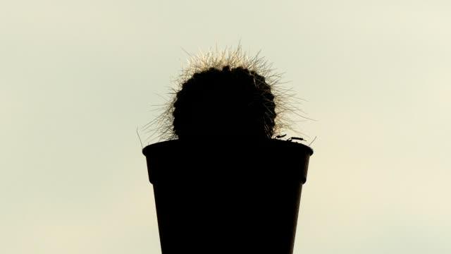 vidéos et rushes de cactus de silhouette au soleil chaud - cactus pot