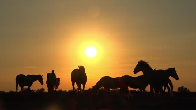 vídeos y material grabado en eventos de stock de la silhouette camargue horses with herder with sunset in background - oficio agrícola