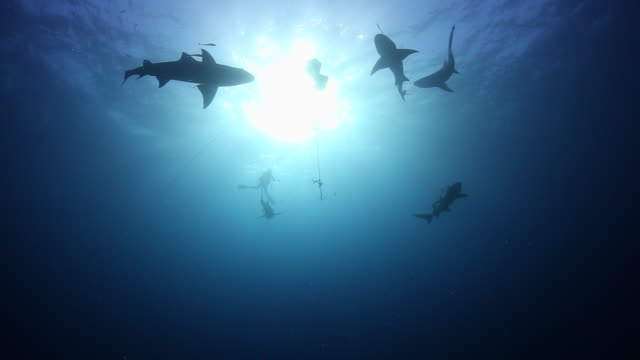 A Silhouette clip of lemon sharks circling around a bait crate in blue water