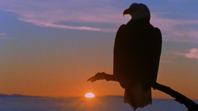 vidéos et rushes de rear view silhouette close up bald eagle sitting on tree branch looking around at sunset / boise basin - sparklondon