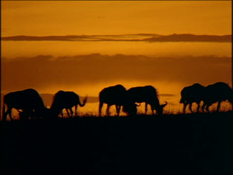 silhouette herd of wildebeests eating on plain at sunset / africa - 草食性点の映像素材/bロール