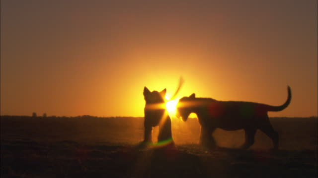 silhouette of 2 african lion cubs play fight with sunset in background - play fight stock videos and b-roll footage