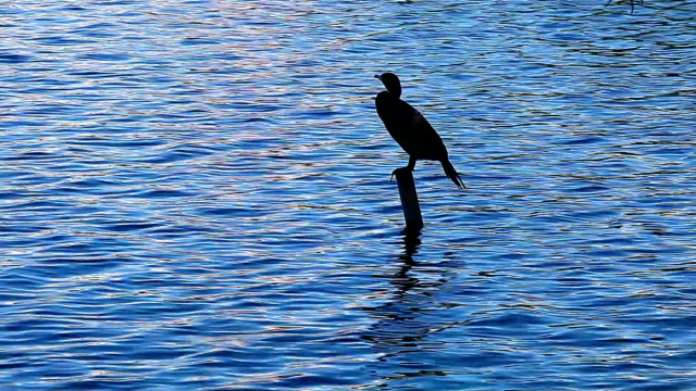 silhouette of a cormorant on a blue lake - orlando florida stock videos & royalty-free footage