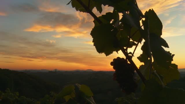 HD DOLLY: Silhouette Of A Grape Vine
