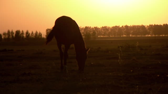 Silhouette of a horse eating grass