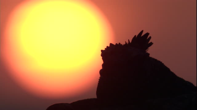 A silhouette of a marine iguana against the setting sun. Available in HD.
