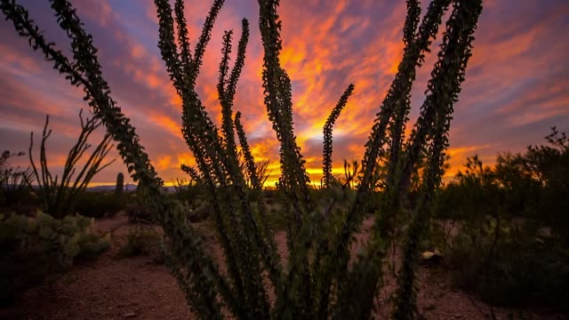 silhouette of an ocotillo plant during a colorful sunset in saguaro national park near tucson, arizona - sonoran desert stock videos & royalty-free footage