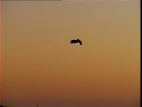silhouette of australian pelican comes in to land amongst colony at sunrise, lake eyre, south australia - 空気力学点の映像素材/bロール