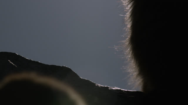 silhouette of barbary macaque (macaca sylvanus) on rock of gibraltar - controluce video stock e b–roll