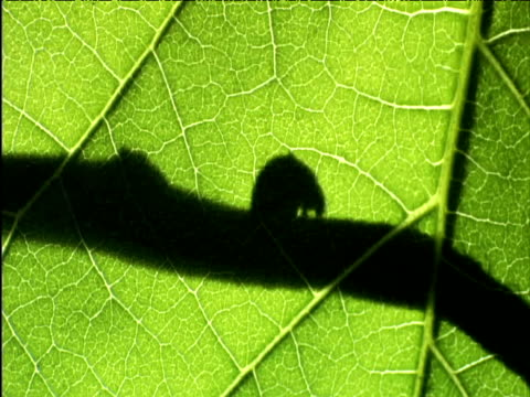 silhouette of beetle and driver ants through leaf east africa - invertebrate stock videos & royalty-free footage