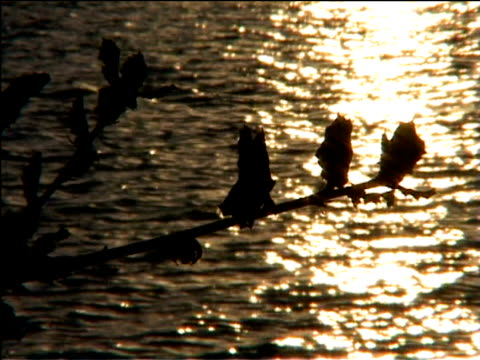 stockvideo's en b-roll-footage met silhouette of branch against golden light twinkling on river usa - plant attribute