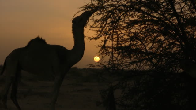 vídeos de stock e filmes b-roll de ws zo silhouette of camel eating dry thorns with sun behind / tzarga, adrar, mauritania - espinho