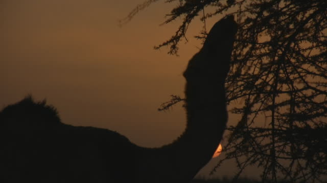 ms silhouette of camel picking up dry thorns with sun behind / zouerat, tiris zemmour, mauritania - erbivoro video stock e b–roll