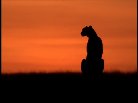 vídeos de stock e filmes b-roll de silhouette of cheetah sitting on plain in front of orange sky at dusk / serengeti, tanzania, africa - plano picado