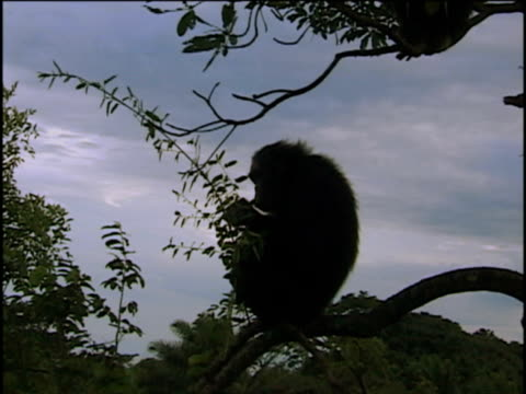 vídeos y material grabado en eventos de stock de ms, silhouette of chimpanzee (pan troglodytes) sitting on limb and eating, gombe stream national park, tanzania - parque nacional de gombe stream