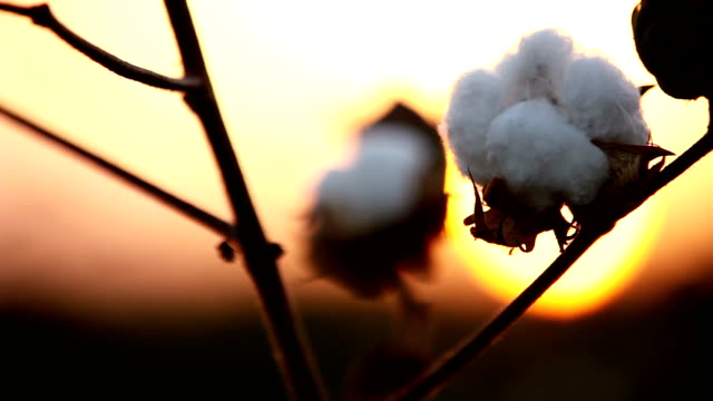 silhouette of cotton plant during sunset - cotton stock videos & royalty-free footage