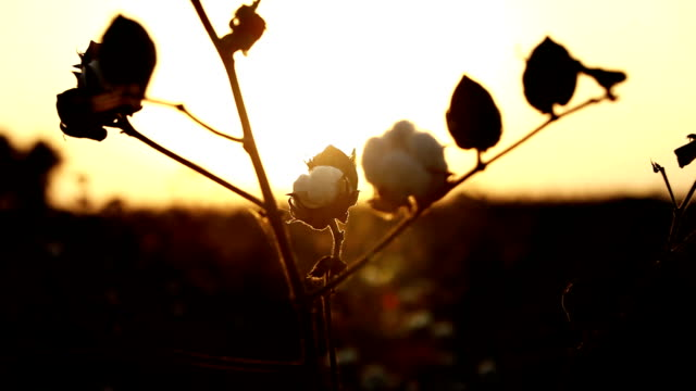 silhouette of cotton plant during sunset - cotton ball stock videos & royalty-free footage