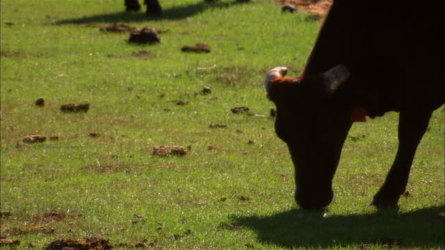 cu, silhouette of cow grazing in field, sebring, florida, usa - herbivorous stock videos & royalty-free footage