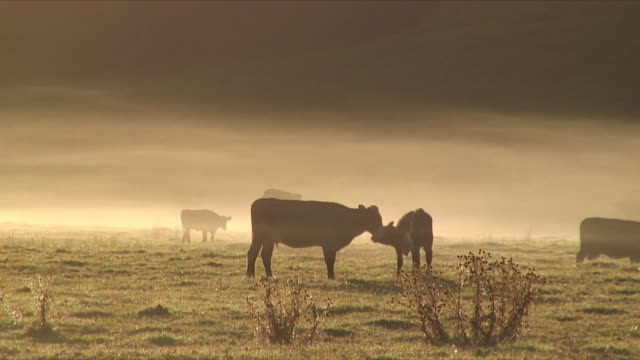 vídeos de stock e filmes b-roll de ms silhouette of cows grooming on paddock at sunrise, mimiwhangata, new zealand - grupo pequeno de animais