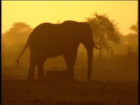 silhouette of elephant drinking and splashing water in evening light rhino runs past kicking up dust - krüger nationalpark stock-videos und b-roll-filmmaterial