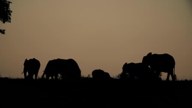 silhouette of elephant herd walking across horizon at dusk, kruger national park, south africa - krüger nationalpark stock-videos und b-roll-filmmaterial