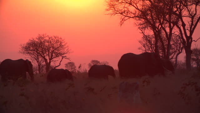 ws silhouette of elephant herd walking across horizon / kruger national park, mpumalanga, south africa - wildlife reserve stock videos & royalty-free footage