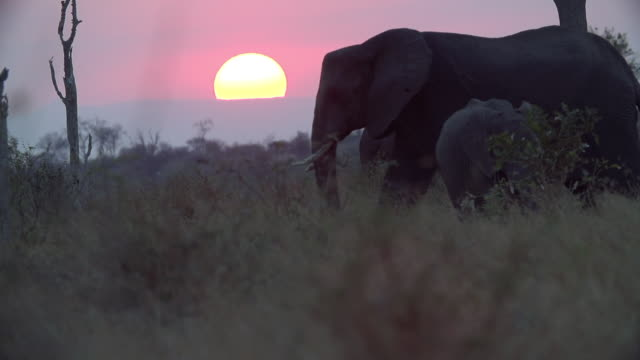 ws slo mo silhouette of elephant herd walking across horizon with setting sun in background / kruger national park, mpumalanga, south africa - 30 seconds or greater stock videos & royalty-free footage