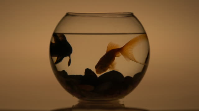 Silhouette of Goldfish in a fishbowl