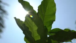 Silhouette of green leaves, Sun flare on background.