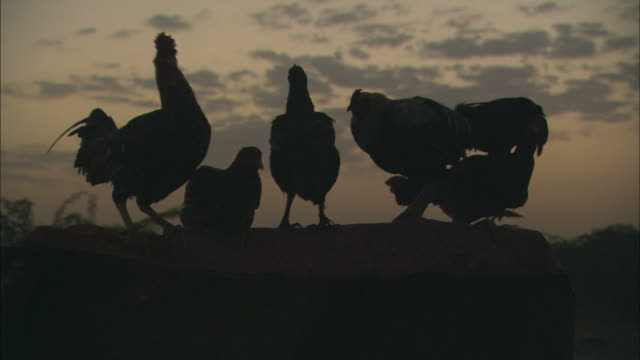 CU, silhouette of hens and rooster against sunset sky, India