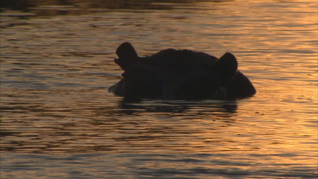 cu, pan, silhouette of hippopotamus (hippopotamus amphibius) surfacing in river at sunset, headshot, okavango delta, botswana - surfacing bildbanksvideor och videomaterial från bakom kulisserna