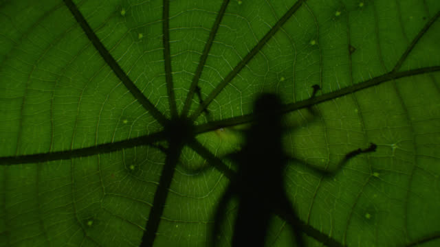 """""""silhouette of katydid (tettigoniidae) clinging to leaf in forest at night, philippines"""" - south east asia stock videos & royalty-free footage"""
