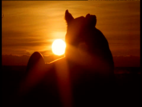 Silhouette of lioness lying down at sunset, Masai Mara