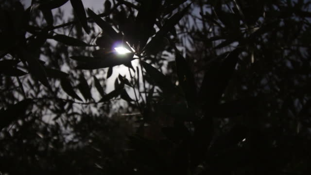 Silhouette der Olivenblätter