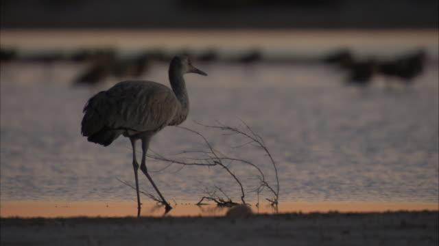 silhouette of sandhill crane at twilight - sandhill crane stock videos & royalty-free footage