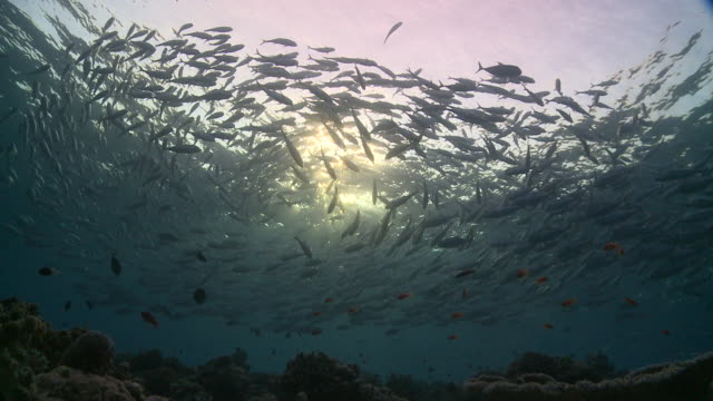 Silhouette of school of Bigeye Trevallies (Caranx sexfasciatus) circling sunburst at dawn, another school enters frame, Vaavu Atoll, The Maldives
