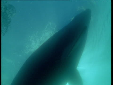 silhouette of southern right whale passes overhead at sunburst sea surface, patagonia - southern right whale stock videos & royalty-free footage