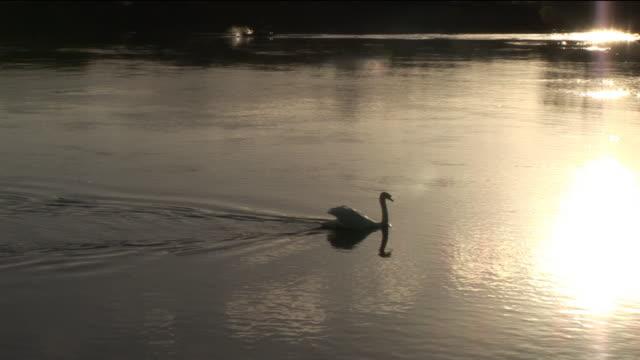ms, pan, silhouette of swan swimming in calm river at sunset, galway, ireland - akvatisk organism bildbanksvideor och videomaterial från bakom kulisserna