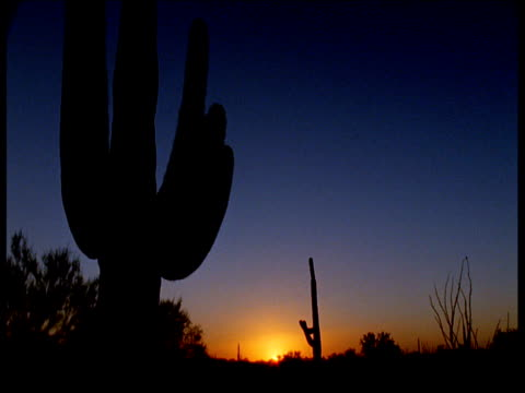 "vidéos et rushes de silhouette of tall saguaro cactus at sunset, arizona - ""bbc natural history"""