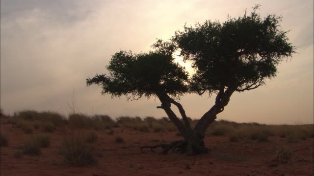 ms, silhouette of tree in desert, south africa - the karoo stock videos & royalty-free footage