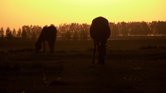 Silhouette of two horses eating grass