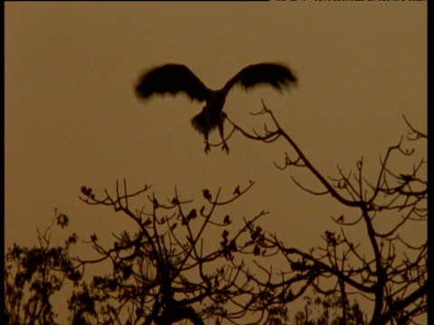 silhouette of white breasted sea eagle landing in tree top, australia - gespreizte flügel stock-videos und b-roll-filmmaterial