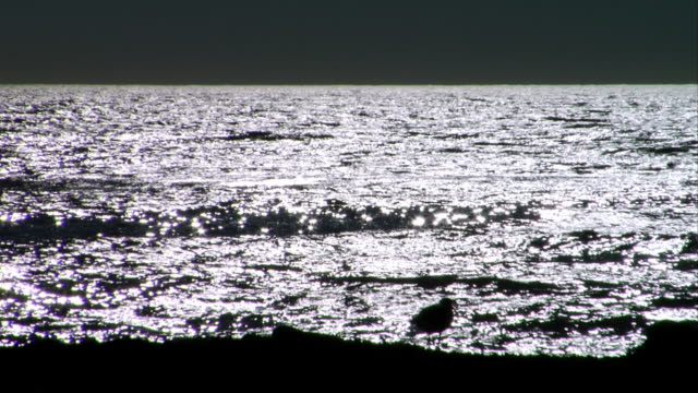 MS, Silhouette of willet at water's edge, Leo Carrillo State Park, California, USA