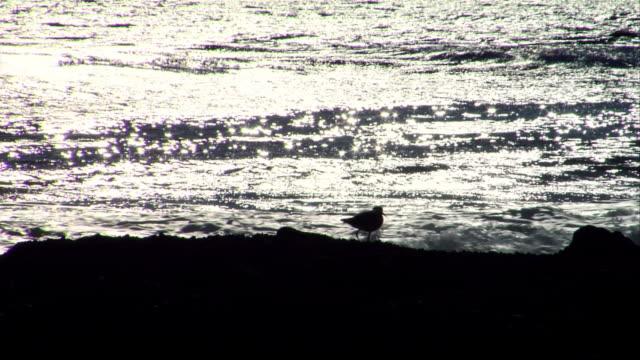 vidéos et rushes de ms, silhouette of willet at water's edge, leo carrillo state park, california, usa - océan pacifique nord